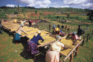 workers-racks-coffee-Kenya-Nyeri